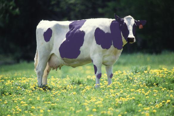 Vijoličasta krava